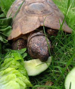 Feeding Napoleon Tortoise